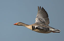 10095goose-in-flight.jpg