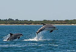 10095jumping_dolphins2.jpg