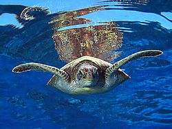 103955T01_-_Green_turtle_-_Chelonia_mydas.jpg