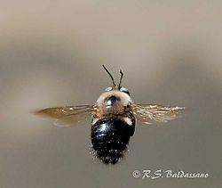 105057Flying-Bee--3S.jpg