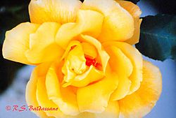 105057Yellow-Rose-copy-with-PS-1.jpg