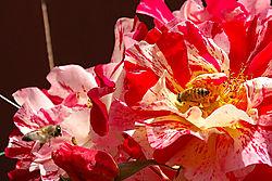 106876Bees_Roses.jpg