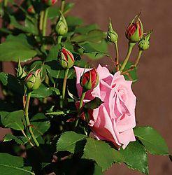 132153pink_rose_5-17-20070006.jpg