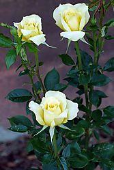 132153yellow_roses.jpg