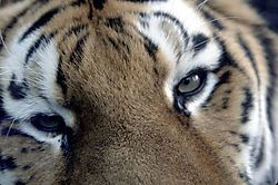 1334animals_zoo_syracuse_siberi.jpg