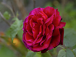 14279last_rose_of_summer.jpg