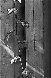 14472Lonely-Vine.jpg