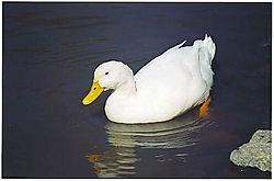 15495Duck_Swimming.jpg