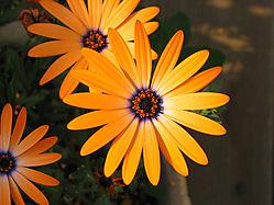 15509orange_flowers.jpg
