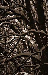 16234sunrise_sno_tree2a_OPT500.jpg
