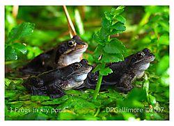 16427x-3frogs.jpg