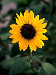 16941sunflower.jpg