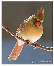 17965BET0227-fem-cardinal.jpg