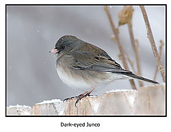 17965BET0384-junco.jpg