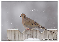 17965BET0417-mourning-dove.jpg