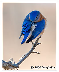 17965BET0836-bluebird-preen.jpg
