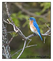 17965BET1177-bluebird.jpg