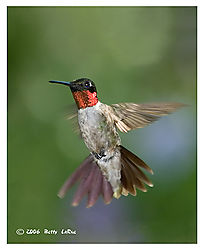 17965BET5699-hummingbird.jpg