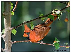 17965BET6259-cardinal.jpg