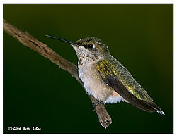 17965BET6402-hummingbird.jpg
