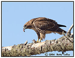 17965BET8005-red-tailed-hawk.jpg