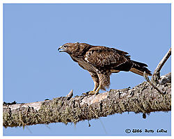 17965BET8020-red-tailed-hawk.jpg
