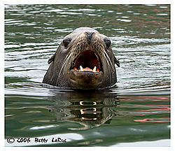 17965BET8413-sea-lion.jpg