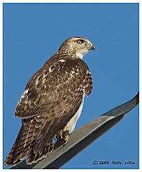 17965BET9749-red-tailed-hawk.jpg