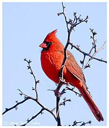 17965BET9826-cardinal.jpg