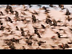 18BlurredRedWingBlackbirds.jpg