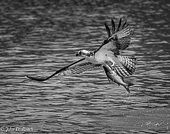 2-Osprey-Nikonians_B_W.jpg