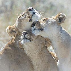 20061108_D2x_Lionesses_Greeting_Mara_RJK1903.jpg