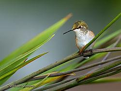 2007-08-11_01DSC_0212---Hummingbird-at-Rest.jpg