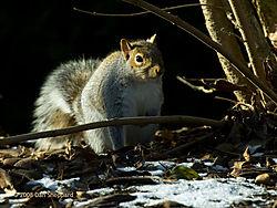 20081216DSC_0256_-_Winter_Squirrel.jpg