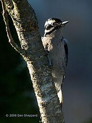 20081216DSC_0339---Hairy-Woodpecker---female.jpg