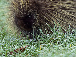 20090104DSC_0199---Porcupine-Eating-Frozen-Grass.jpg