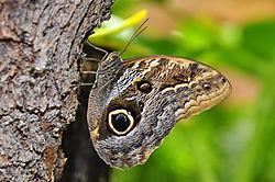 2009_01_02_Butterfly_Exhibit_Owl_Butterfly_Sharpened_0023.jpg
