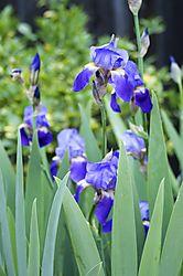2014-3-22_Backyard_flowers_019.jpg