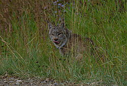 20140823_Lynx6.jpg