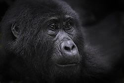 20160704_D5_Gorilla_Habinyanja_Uganda_RJK3102_copy.jpg