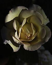 20200502-AD-home-peace-rose-garden-7815.jpg