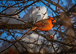 202101252021-01-25_Cardinal_maleYear-2021.jpg