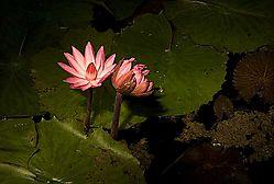 22489Nocturnal-bloom_DSC2703.jpg
