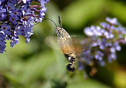 22489humming-bird-insect2.jpg