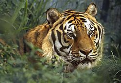 23337El_tigre-1b.jpg