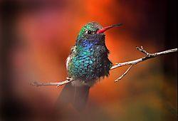 23337Hummingbird-1d.jpg