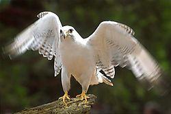 23337White_falcon.jpg