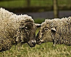 2_sheep.jpg