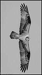 3-Osprey-Nikonians_B_W.jpg