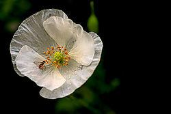3011_White_Poppy_Web.jpg
